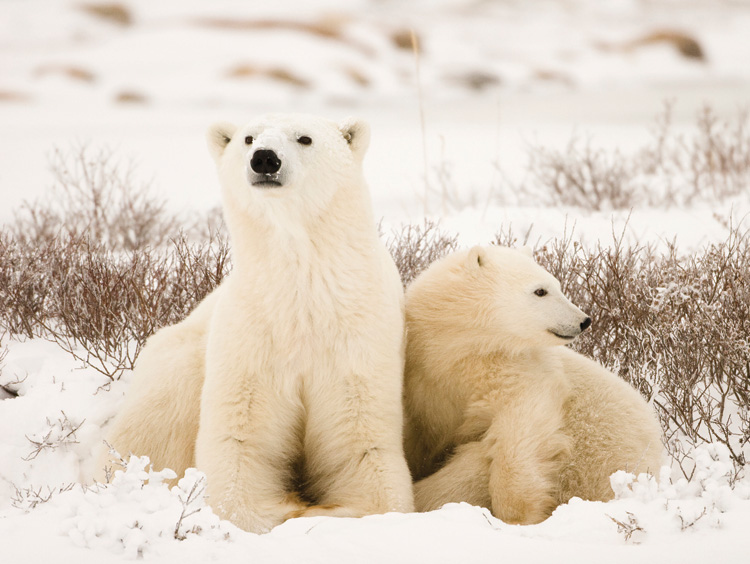 The Polar Bear Capital of the World